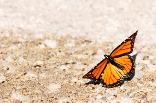 Schmetterling Sandra